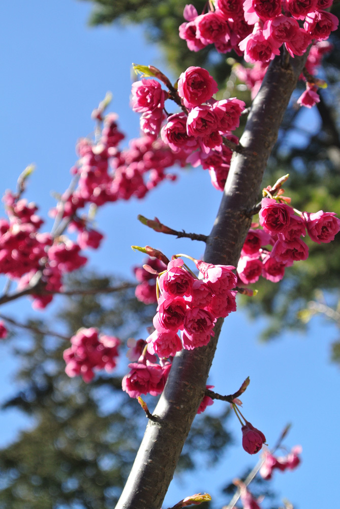 桜いろいろ_e0089232_14183609.jpg