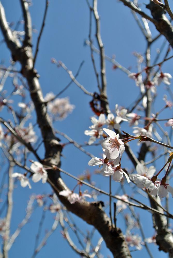 桜いろいろ_e0089232_14183668.jpg