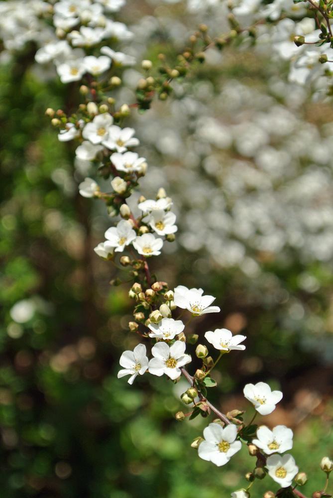 春の花いろいろ_e0089232_14223708.jpg