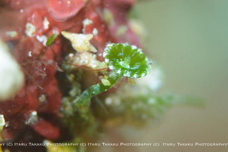 ダイビングで見られる色々な海藻_b0186442_9585041.jpg