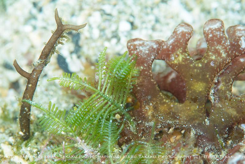 ダイビングで見られる色々な海藻_b0186442_9593440.jpg