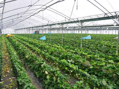熊本イチゴ『さがほのか』 ビニールを曇らせて日焼けを防ぎ、高品質のイチゴを育てます_a0254656_17151931.jpg