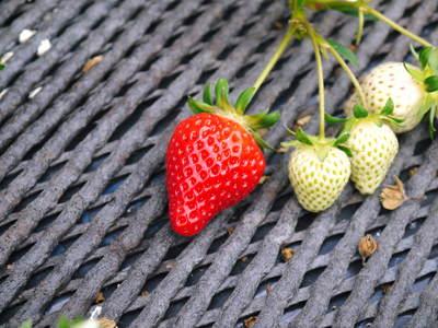 熊本イチゴ『さがほのか』 ビニールを曇らせて日焼けを防ぎ、高品質のイチゴを育てます_a0254656_17194895.jpg