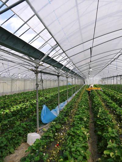 熊本イチゴ『さがほのか』 ビニールを曇らせて日焼けを防ぎ、高品質のイチゴを育てます_a0254656_17243739.jpg