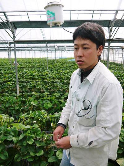 熊本イチゴ『さがほのか』 ビニールを曇らせて日焼けを防ぎ、高品質のイチゴを育てます_a0254656_17385740.jpg