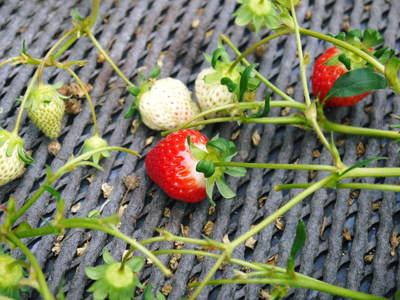 熊本イチゴ『さがほのか』 ビニールを曇らせて日焼けを防ぎ、高品質のイチゴを育てます_a0254656_17425020.jpg