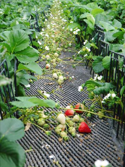 熊本イチゴ『さがほのか』 ビニールを曇らせて日焼けを防ぎ、高品質のイチゴを育てます_a0254656_17522398.jpg