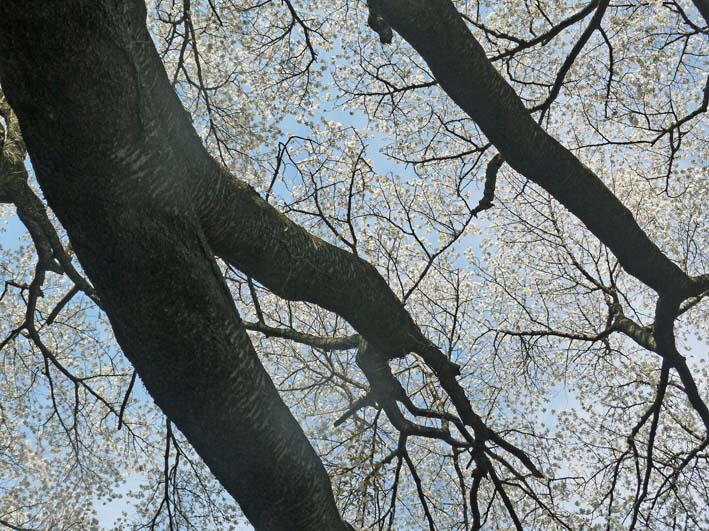六国見山森林公園の夫婦桜の夫桜が満開!(3・28)_c0014967_18531569.jpg
