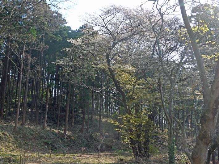 六国見山森林公園の夫婦桜の夫桜が満開!(3・28)_c0014967_18561720.jpg