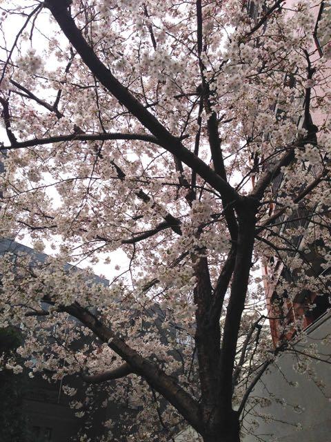 2015.3.28  今朝_a0083571_1324440.jpg