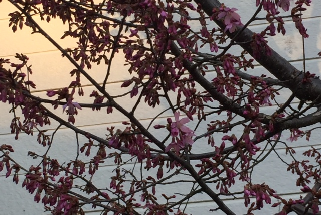 おかめ桜開花_c0077283_18194674.jpg