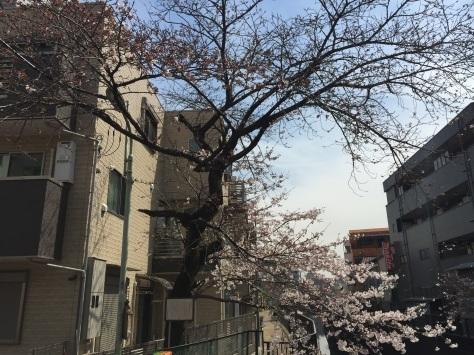 内川桜 _a0112393_11332637.jpg