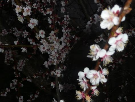 2015年4月6日 乙戸沼公園さくら その9_d0249595_18302571.jpg