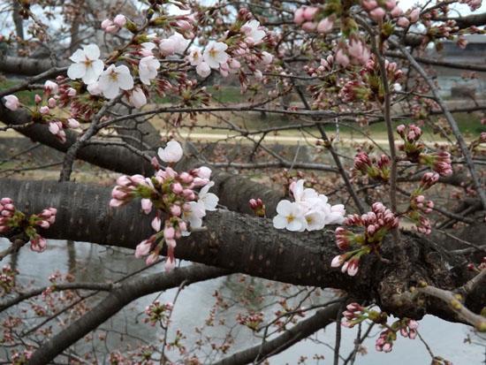 鴨川ソメイヨシノ開花 2015桜たより7_e0048413_14102334.jpg