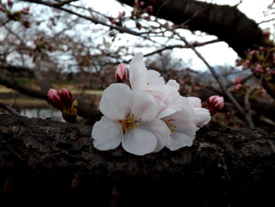 鴨川ソメイヨシノ開花 2015桜たより7_e0048413_14103562.jpg