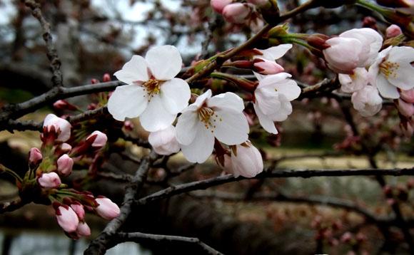 鴨川ソメイヨシノ開花 2015桜たより7_e0048413_14104791.jpg