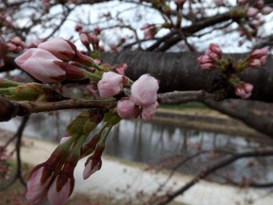 鴨川ソメイヨシノ開花 2015桜たより7_e0048413_1410857.jpg