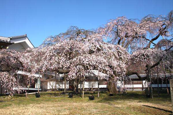 醍醐寺霊宝館 2015桜だより 8_e0048413_18203947.jpg