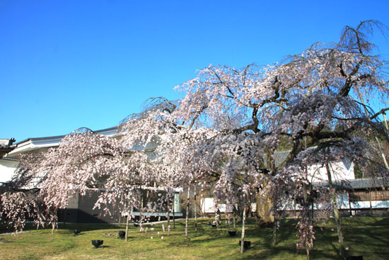醍醐寺霊宝館 2015桜だより 8_e0048413_18205698.jpg