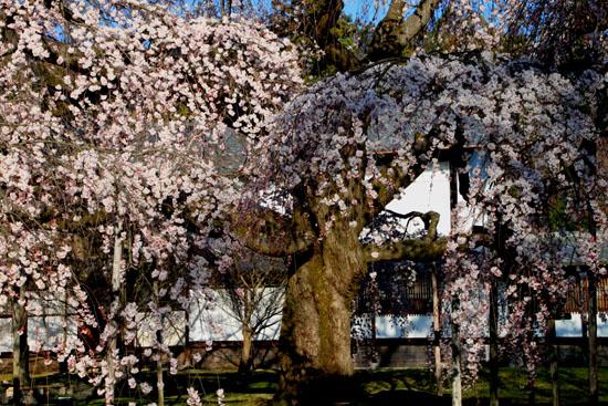 醍醐寺霊宝館 2015桜だより 8_e0048413_1821343.jpg