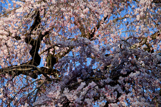 醍醐寺霊宝館 2015桜だより 8_e0048413_18214994.jpg