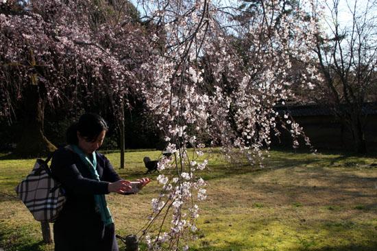 醍醐寺霊宝館 2015桜だより 8_e0048413_1822058.jpg