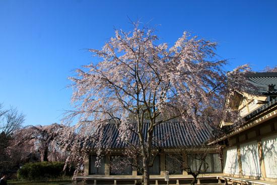 醍醐寺霊宝館 2015桜だより 8_e0048413_1823125.jpg