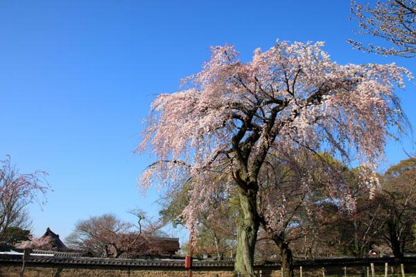 醍醐寺霊宝館 2015桜だより 8_e0048413_18232631.jpg