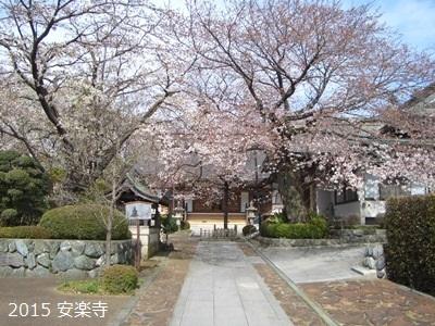 寒川町 桜 開花状況 2015年 春_d0240916_11105812.jpg