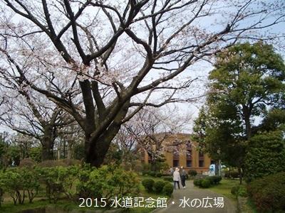寒川町 桜 開花状況 2015年 春_d0240916_11111536.jpg