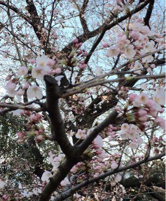 追悼朝ラン ㊳ ➕ お花見ラン♪《その2》_b0203925_13342160.jpg