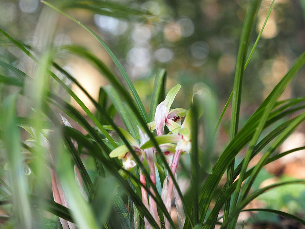 シュンランと桜カワセミ_f0324026_1616158.jpg