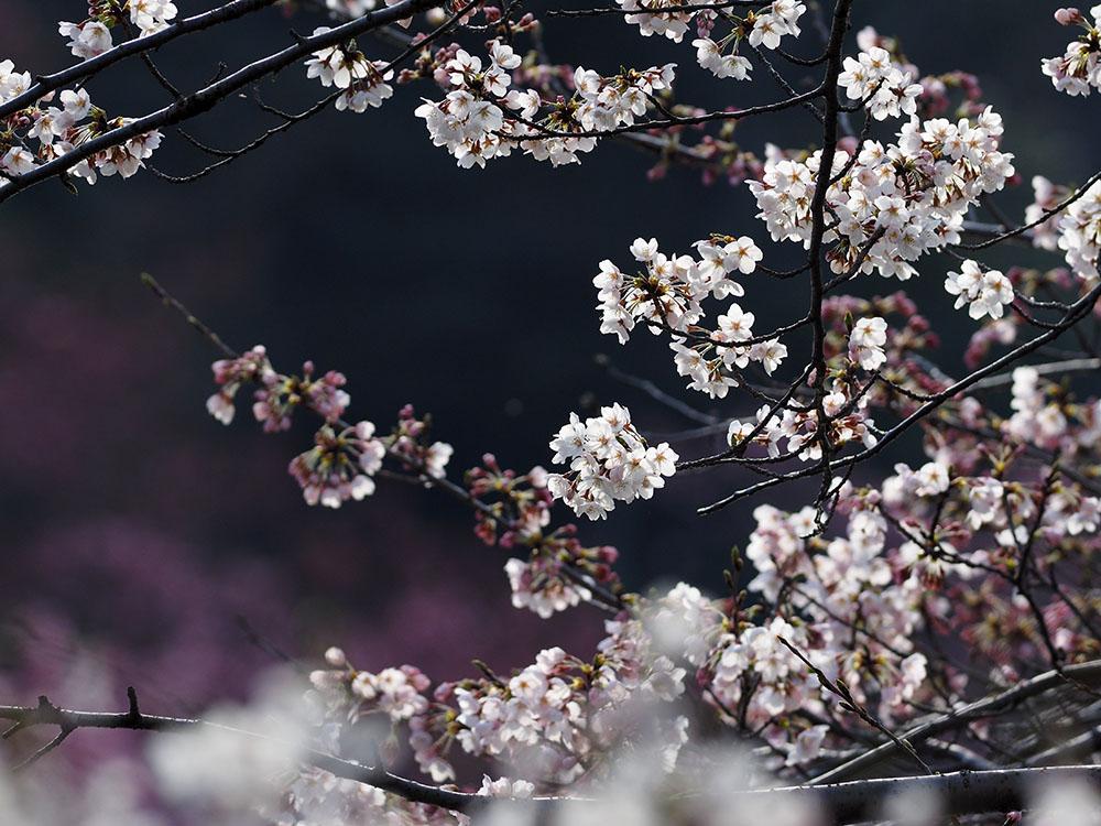 シュンランと桜カワセミ_f0324026_16203531.jpg
