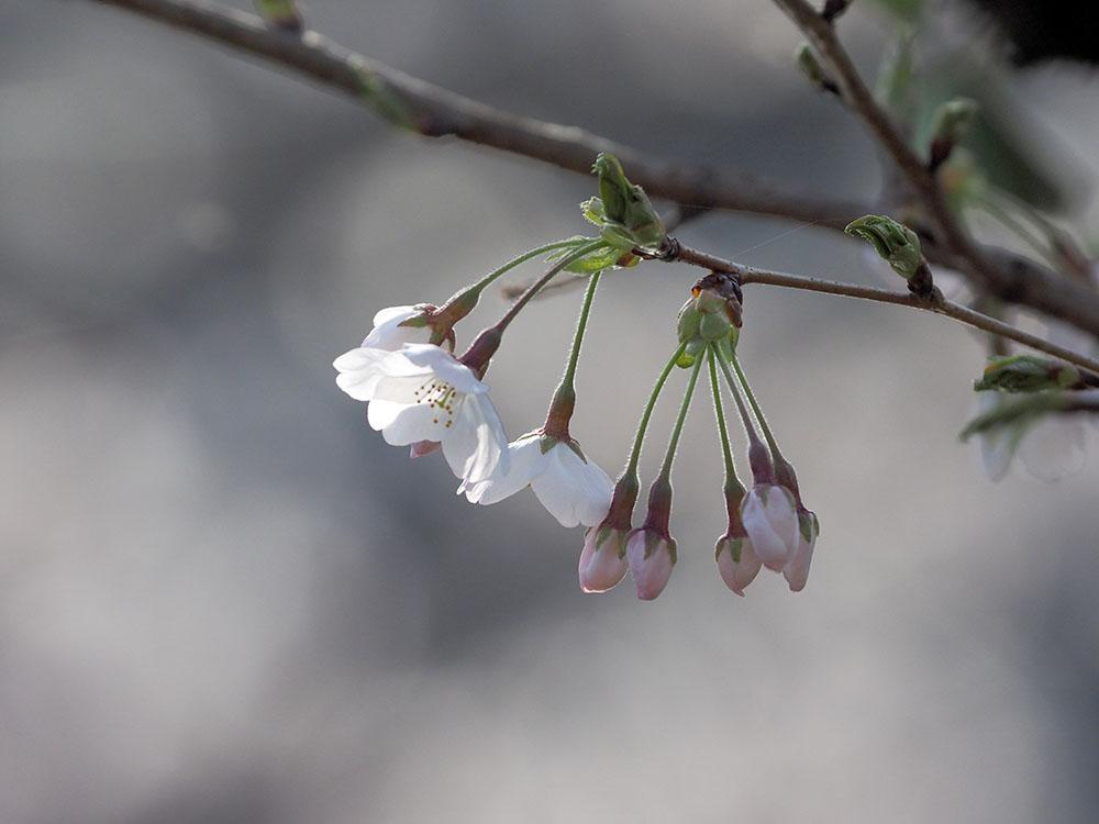 シュンランと桜カワセミ_f0324026_16204914.jpg