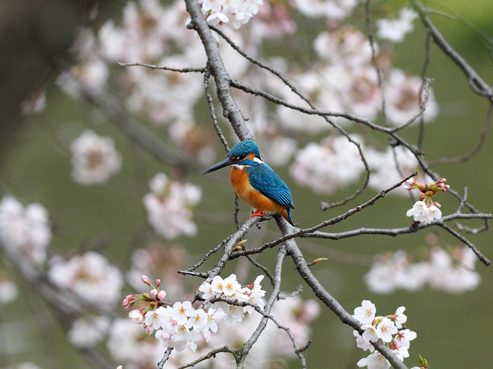 シュンランと桜カワセミ_f0324026_16222480.jpg