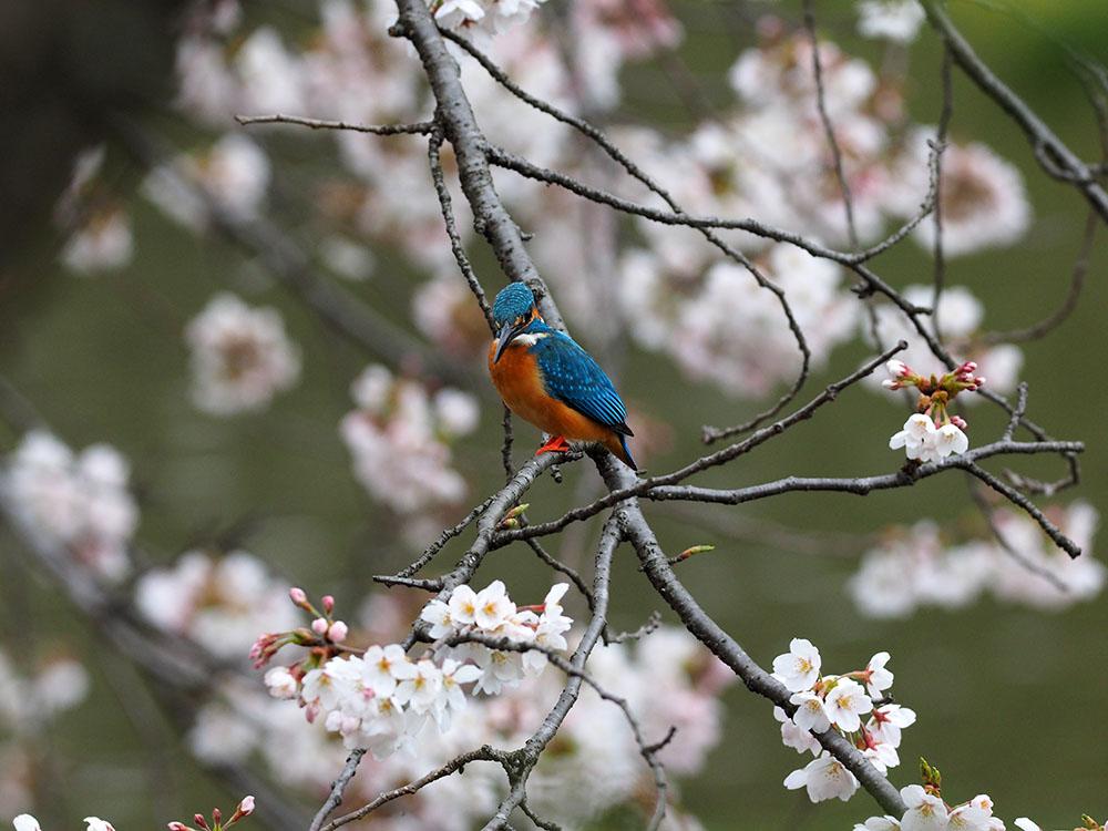 シュンランと桜カワセミ_f0324026_1622397.jpg