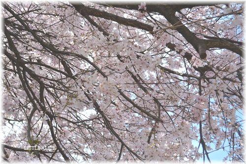 ☆SAKURAさんぽ 2015_c0080132_10421465.jpg