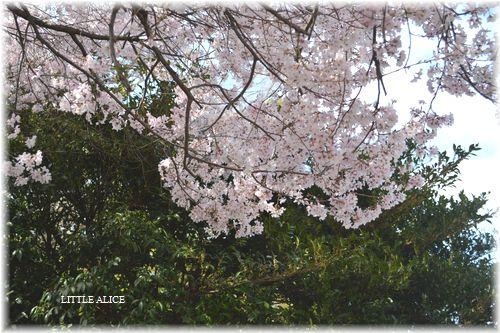 ☆SAKURAさんぽ 2015_c0080132_10423010.jpg