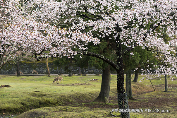 東大寺講堂跡の桜と鹿 A cherry blossoms and Deer._e0245846_23535851.jpg