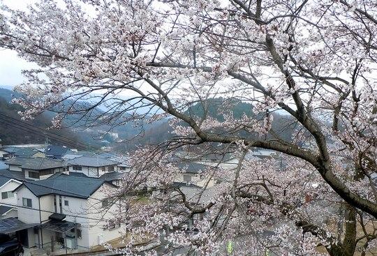ご近所の桜と三ツ矢サイダー発祥の地_b0102572_17371240.jpg