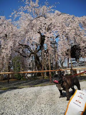 しだれ桜_a0027275_22103136.jpg