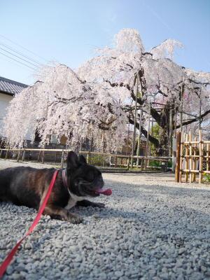 しだれ桜_a0027275_22112030.jpg