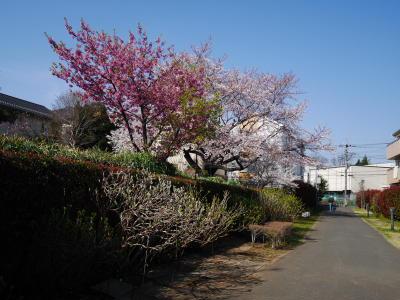 しだれ桜_a0027275_229460.jpg