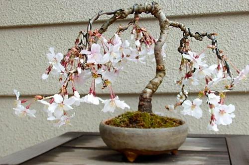 桜 花_e0298782_13225464.jpg