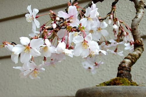 桜 花_e0298782_13244034.jpg