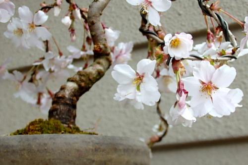 桜 花_e0298782_13245360.jpg