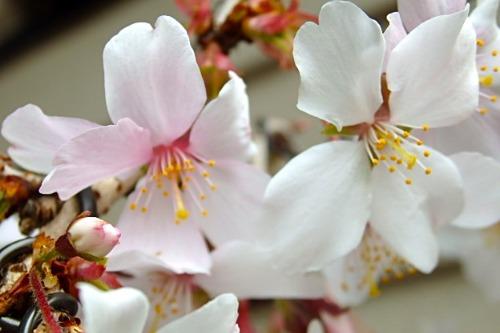 桜 花_e0298782_1325860.jpg
