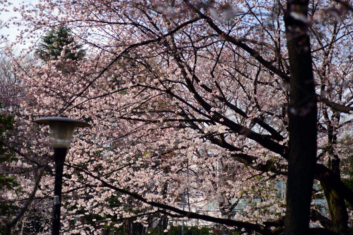 桜2015①前野_c0252688_22424223.jpg