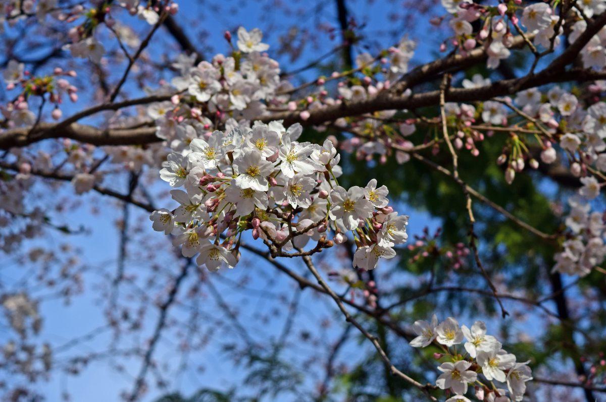 桜2015①前野_c0252688_22432246.jpg