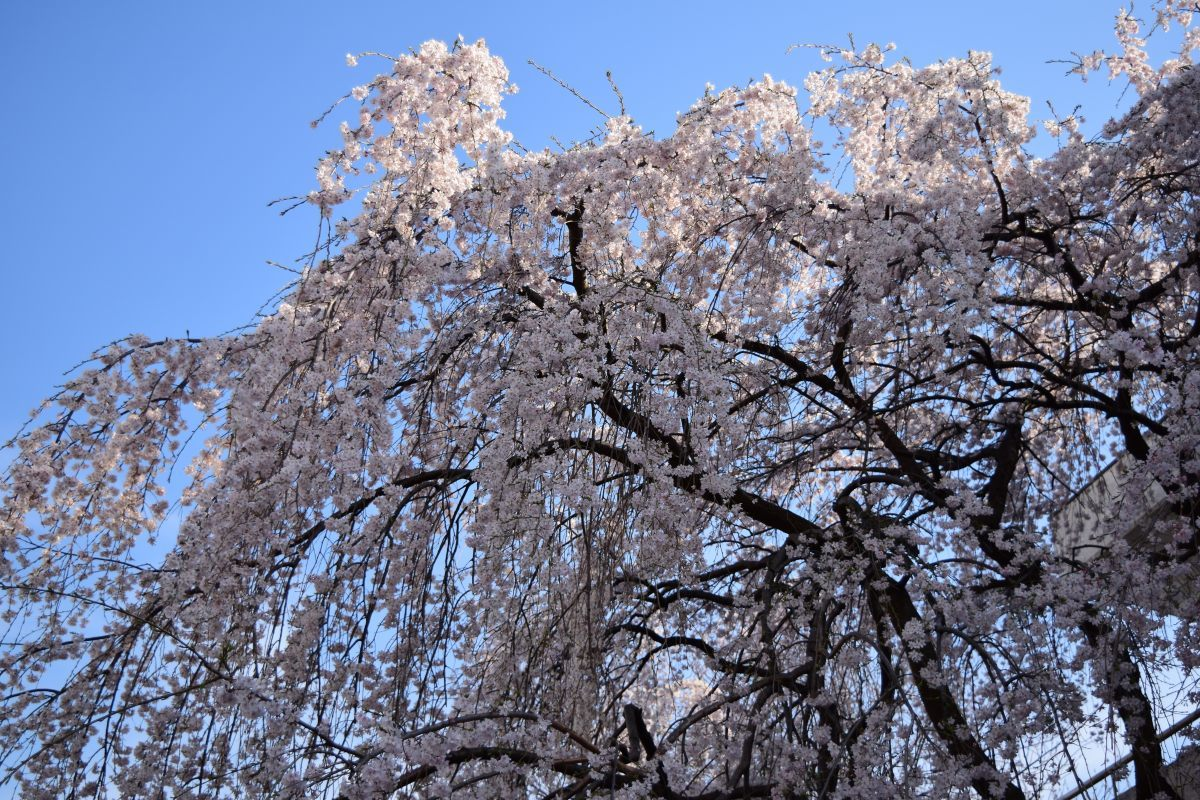 桜2015①前野_c0252688_22435475.jpg